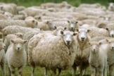 三万只羊的故事,有了个暖心的结局 :今天我们吃上蒙古赠羊了!